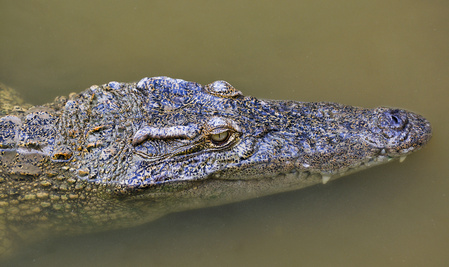 Siam-Krokodil (Crocodylus siamensis), im Wasser